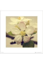Apple Blossom Trio - plakat premium