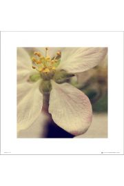 Apple Blossom Close Up - art print