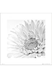 White Gerbera Close Up - art print