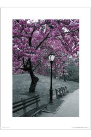 Central Park Blossom - art print