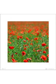 Poppy Field - art print