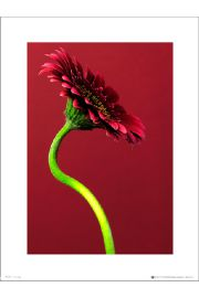 Single Gerbera Red - art print