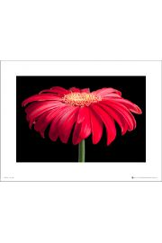 Gerbera Red & Black - plakat premium