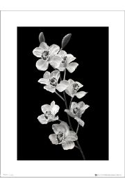 Orchidea Black And White Portrait - plakat premium